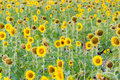 Sun flower field beautiful in thailand Stock Photo