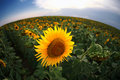 Sun flower a in a field of flowers Stock Images