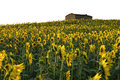 Sun flower field house Royalty Free Stock Images