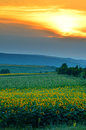 Sun flower field at sunset Royalty Free Stock Photo