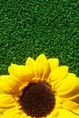 Sun flower on grass Royalty Free Stock Images