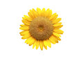 Sun flower on white backgroud the Royalty Free Stock Images
