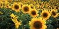 Sun flowers Royalty Free Stock Photo