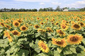 Sun flowers acres of on farm in new jersey Stock Image