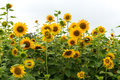 Sun flowers growing near lotus pond in buyeo south korea Stock Photo