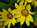 Sun flowers mark spring wild provide a sunny focus to a day in the foothills of boise idaho Stock Image
