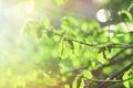 Sun illuminate spring leaves Royalty Free Stock Photo