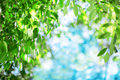 Sun and leaves green leaves on a background of blue sky and sun sunshine sunrays in trees Royalty Free Stock Photo