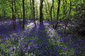 Sun light casting shadows through Bluebell woods, Badby Woods Northamptonshire Royalty Free Stock Photo