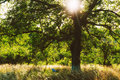 Sun lighted tree sparkling rays in a garden Royalty Free Stock Images