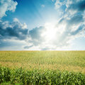 Sun in low clouds over field with green maize Royalty Free Stock Photo