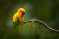 Sun Parakeet, Aratinga solstitialis, rare parrot from Brazil and French Guiana. Portrait yellow green parrot with red head. Bird f