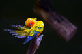 Sun parakeet cleans up Royalty Free Stock Photo