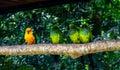 Sun Parakeet standing out close to Nanday Parakeets at Parque das Aves - Foz do Iguacu, Parana, Brazil Royalty Free Stock Photo