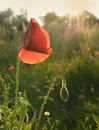 Sun and poppy a beautiful with its rays a in the field Stock Photos