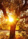 Sun ray through autumnal foliage vivid rays olive tree in the garden food industry growth of vegetables autumn nature harvest Royalty Free Stock Photo