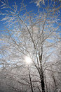 Sun rays against winter forest Royalty Free Stock Photography