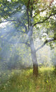 Sun rays through brunch tree scene with Royalty Free Stock Photos