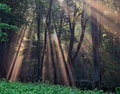 Sun rays crossing a misty forest Stock Photo