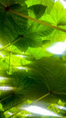 Sun rays through the leaves pattern Royalty Free Stock Photo