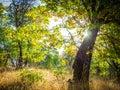 Sunrise in oak forest Royalty Free Stock Photo