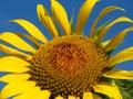 Sun-rich Orange Summer Tall Sunflowers. Sunflower stamen seeds. Yellow sunflower and blue sky background. Royalty Free Stock Photo