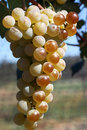 Sun Ripened Grapes Stock Images