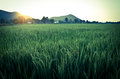Sun rise at rice field Royalty Free Stock Image