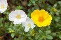 Sun Rose flower Royalty Free Stock Photo