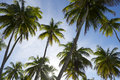 Sun Sets Through Coconut Palm Trees Grove Royalty Free Stock Photo