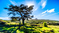 Sun setting behind a large tree in Cape of Good Hope Nature Reserve Royalty Free Stock Photo