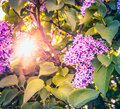 Sun shines through the bush blossoming lilac toned Stock Image