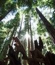 The sun shines between massive redwoods in Montgomery Woods
