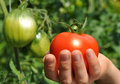 Sun shines on red tomato in women s arm Royalty Free Stock Photo