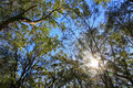 Sun shines through tree tops of Australian bush. Royalty Free Stock Photos