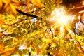 Sun Shining Through Golden Lea...