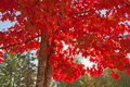 Sun shining through maple tree with red leaves; green leaves in background Royalty Free Stock Photo