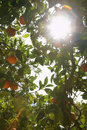 Sun shining through orange tree low angle view of Stock Photos