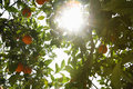 Sun shining through orange tree low angle view of Royalty Free Stock Images
