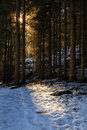 Sun shining through pine forest during winter with snow on ground Royalty Free Stock Images