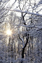 Sun shining throug snow covered trees the behind Royalty Free Stock Image