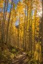 Sun Star And Aspen Trees On Co...