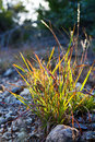 Sun touched clump of wild grass lighted up by the final rays of a setting autumn location edge of balcones canyonlands national Royalty Free Stock Photography