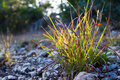 Sun touched clump of wild grass lighted up by the final rays of a setting autumn location edge of balcones canyonlands national Royalty Free Stock Photo