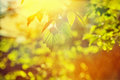 Sun translucent through leaves of a tree instagram stile Royalty Free Stock Photography