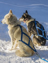Sun warms two dogs husky cross with blue dog sledding harnesses sit on snow resting in the Stock Photo