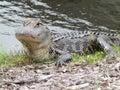 Sunbathing alongside an alligator