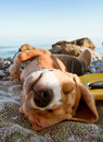 Sunbathing dog portrait beagle puppy lying at the sea coast Royalty Free Stock Photos