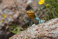 Sunbathing eastern collared lizard in summer heat Stock Images