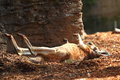 Sunbathing kangaroo stretched out a relaxed at the back limbs australian wildlife Stock Photos